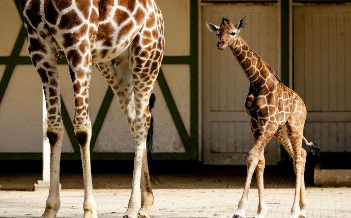 April the giraffe labor livestream